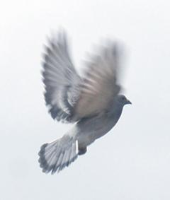 duif_8